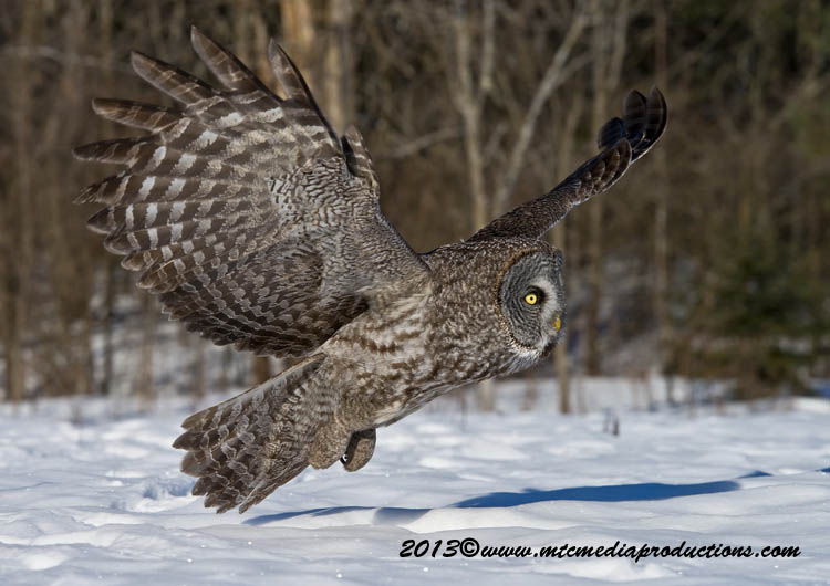 Great Grey Owl Picture-713