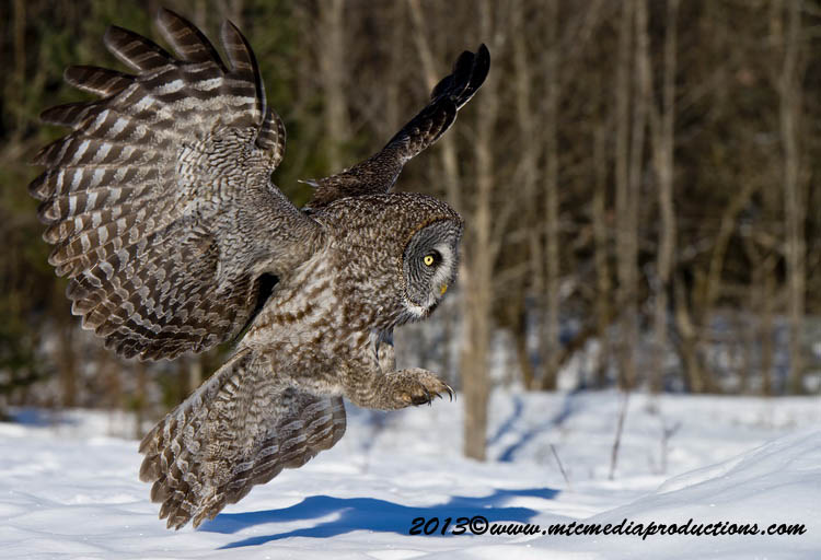 Great Grey Owl Picture-714