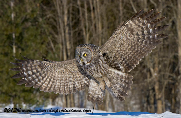Great Grey Owl Picture-715