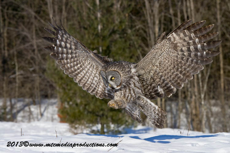 Great Grey Owl Picture-716