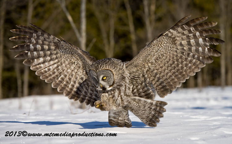 Great Grey Owl Picture-717