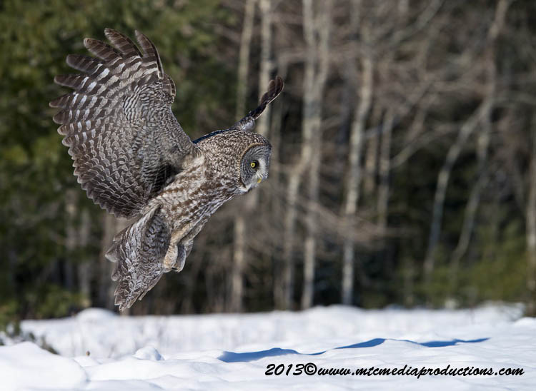 Great Grey Owl Picture-718