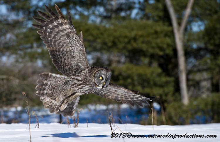 Great Grey Owl Picture-719