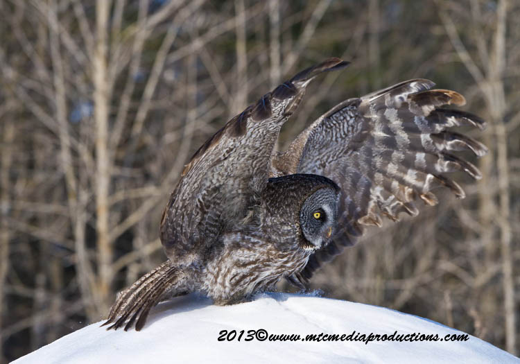 Great Grey Owl Picture-720