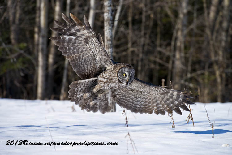 Great Grey Owl Picture-721