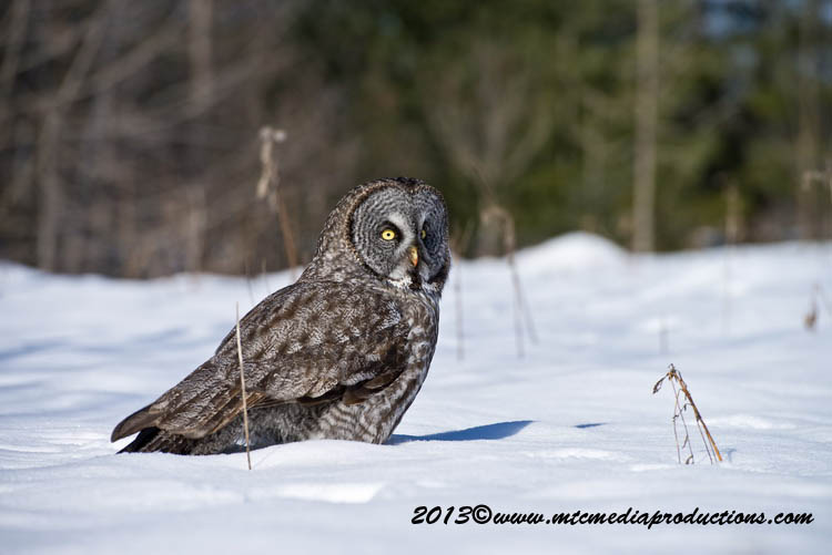 Great Grey Owl Picture-722