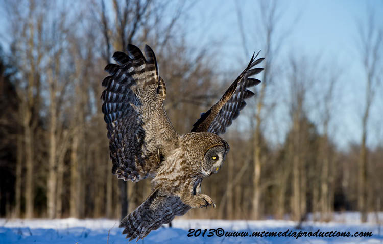 Great Grey Owl Picture-723