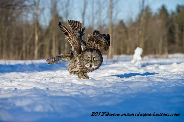 Great Grey Owl Picture-724