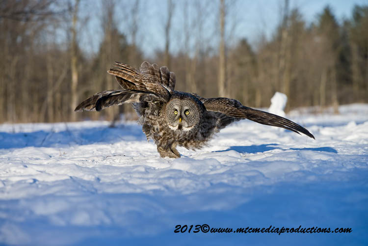 Great Grey Owl Picture-725