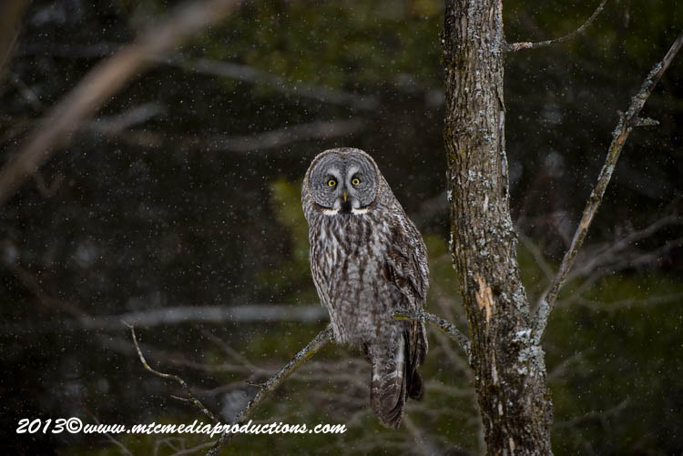 Great Grey Owl Picture-726