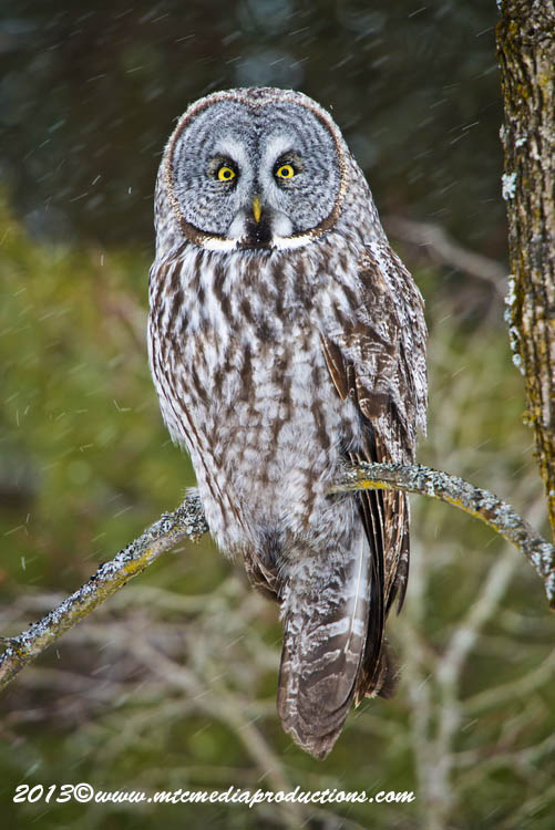 Great Grey Owl Picture-727