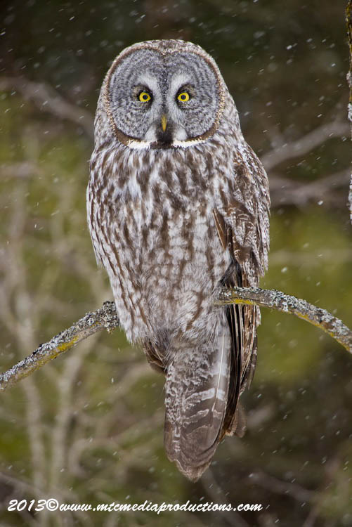 Great Grey Owl Picture-729