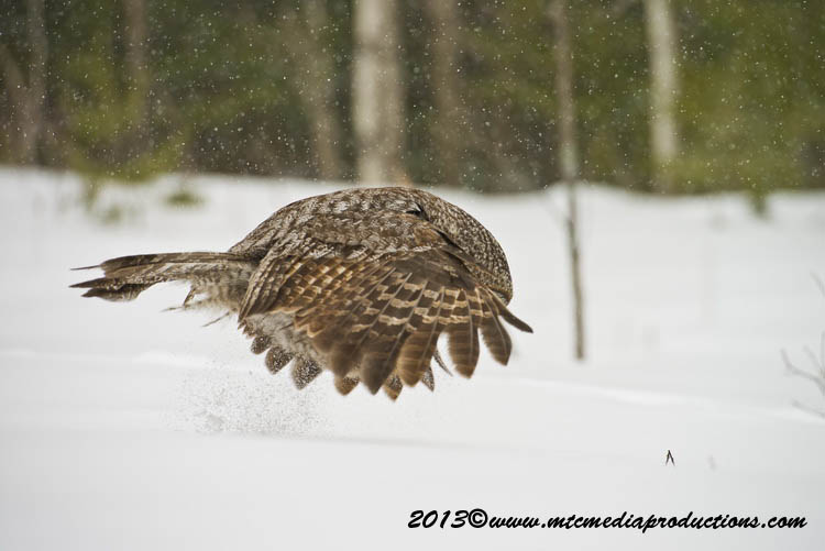 Great Grey Owl Picture-730