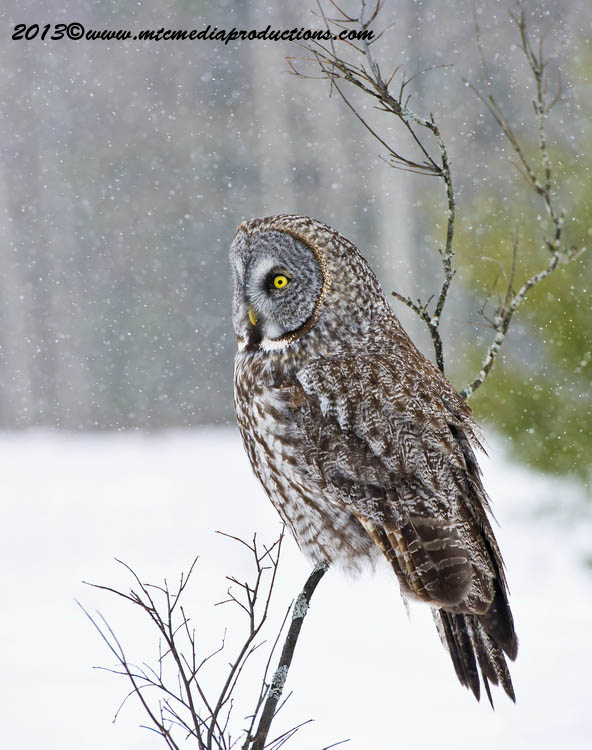 Great Grey Owl Picture-732