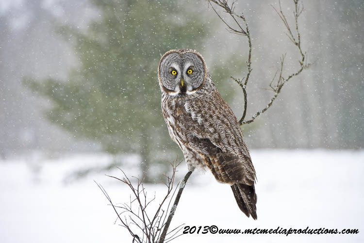 Great Grey Owl Picture-733