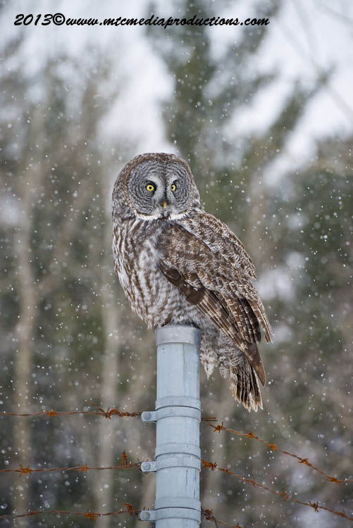 Great Grey Owl Picture-734