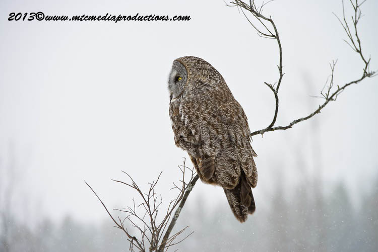 Great Grey Owl Picture-735