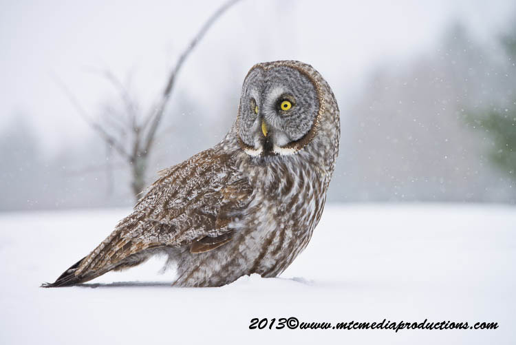 Great Grey Owl Picture-736