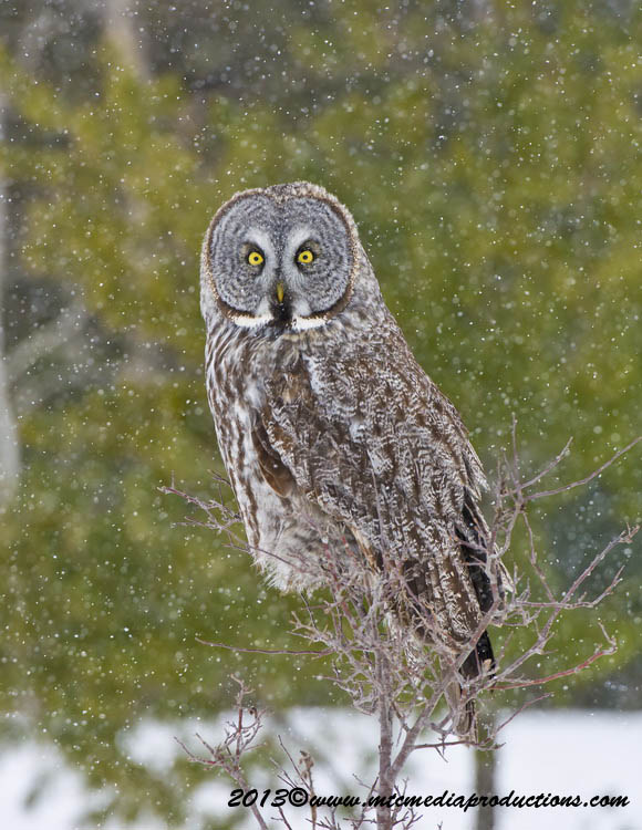 Great Grey Owl Picture-737
