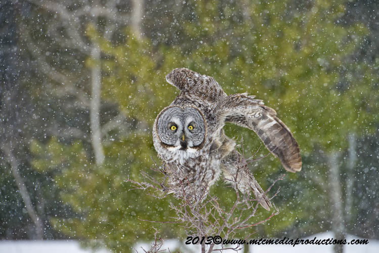 Great Grey Owl Picture-738