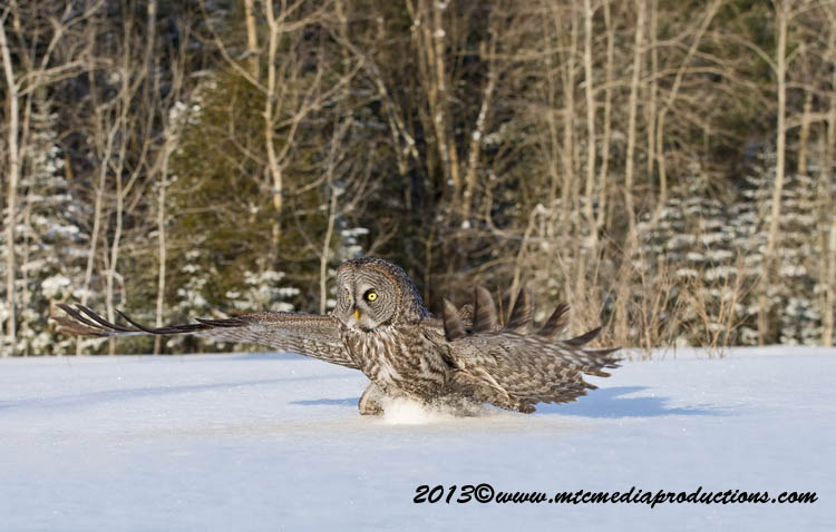 Great Grey Owl Picture-739