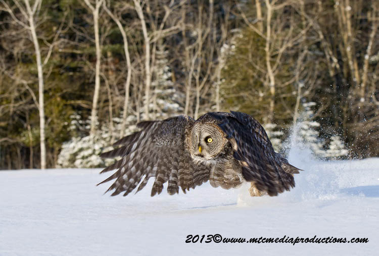 Great Grey Owl Picture-740