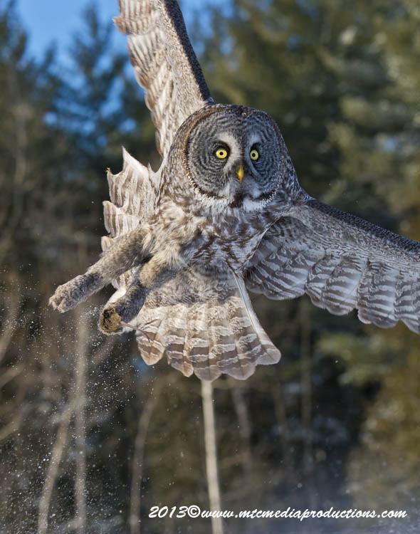 Great Grey Owl Picture-741