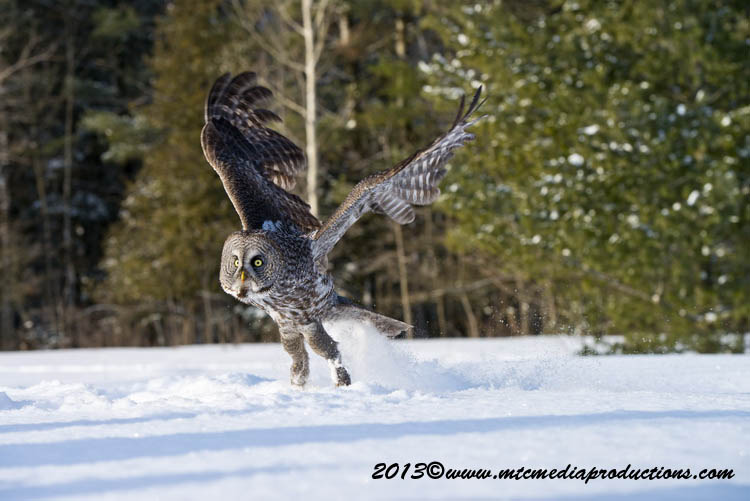 Great Grey Owl Picture-742