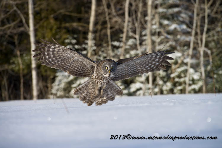 Great Grey Owl Picture-743