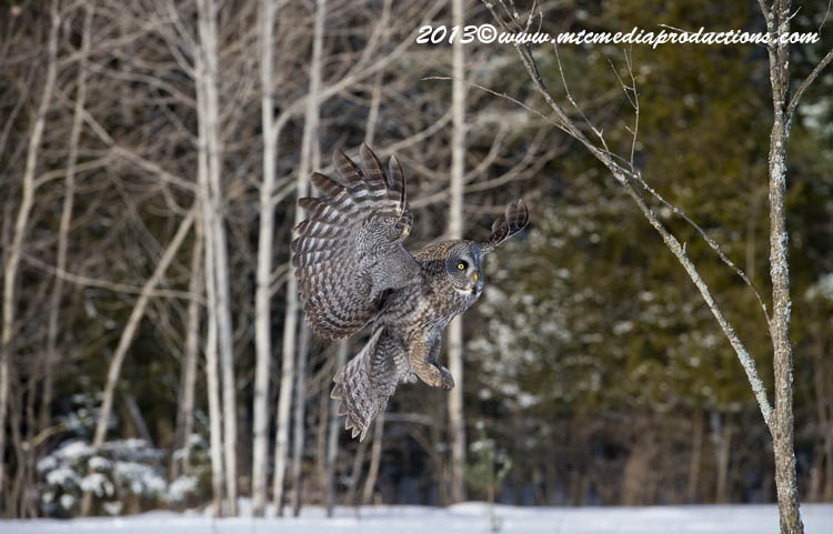 Great Grey Owl Picture-744