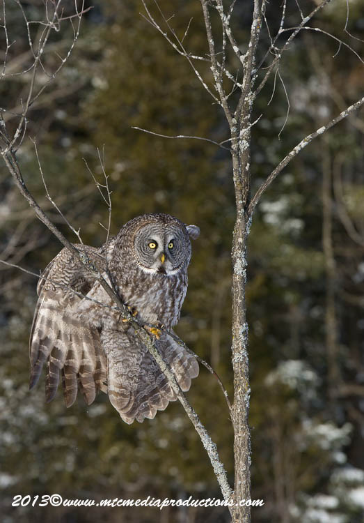 Great Grey Owl Picture-745