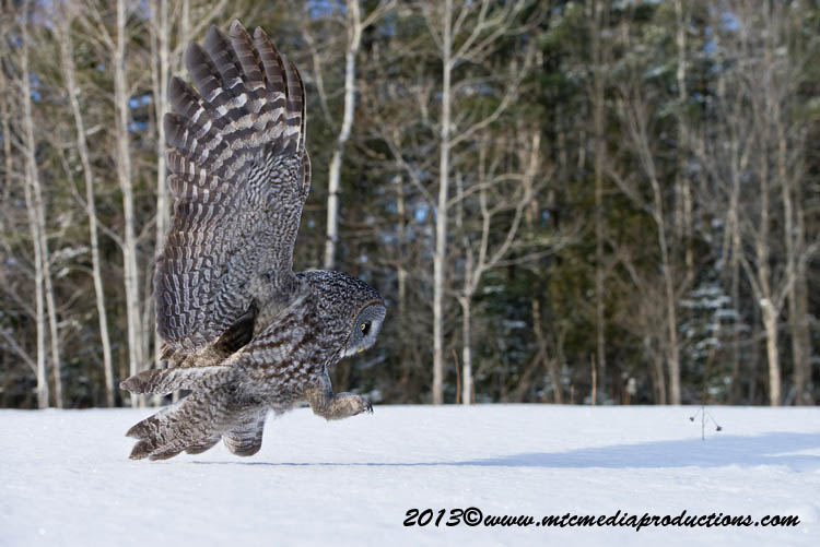 Great Grey Owl Picture-746