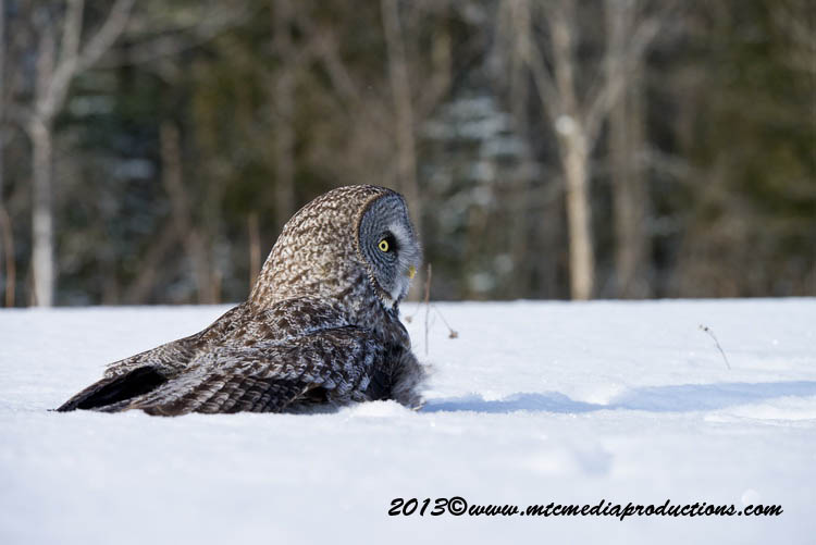 Great Grey Owl Picture-747