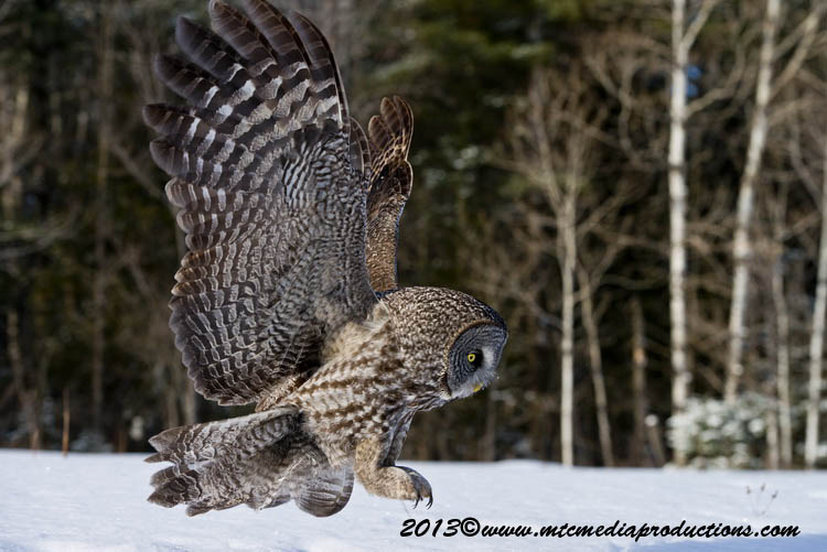 Great Grey Owl Picture-748