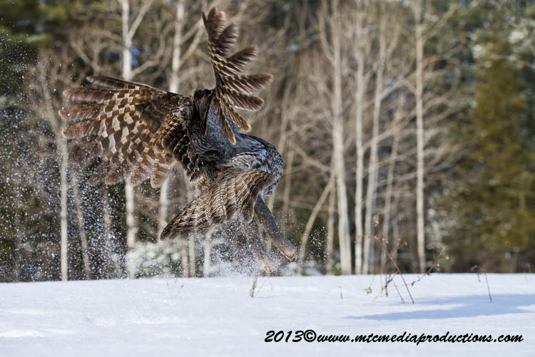 Great Grey Owl Picture-749