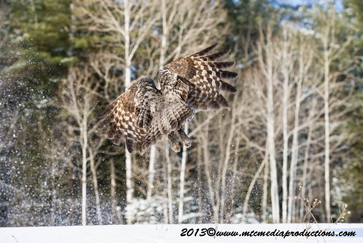 Great Grey Owl Picture-750