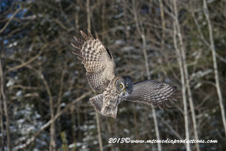Great Grey Owl Picture-751