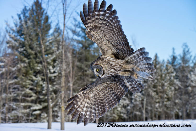 Great Grey Owl Picture-752