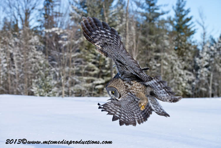 Great Grey Owl Picture-753