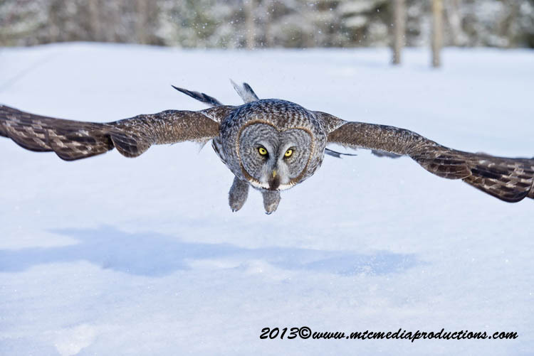 Great Grey Owl Picture-754
