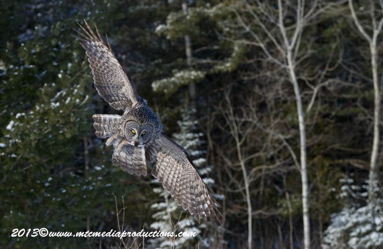 Great Grey Owl Picture-755