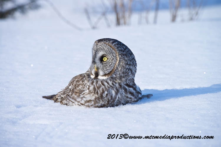 Great Grey Owl Picture-756