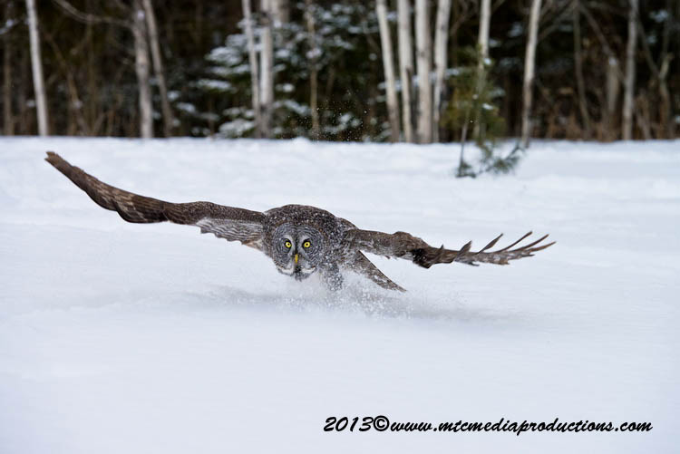 Great Grey Owl Picture-757