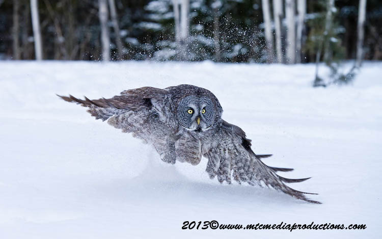 Great Grey Owl Picture-758