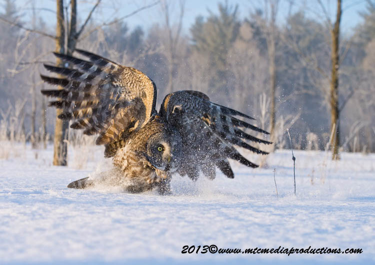 Great Grey Owl Picture-759