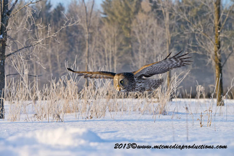 Great Grey Owl Picture-760