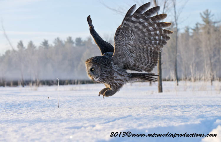 Great Grey Owl Picture-761