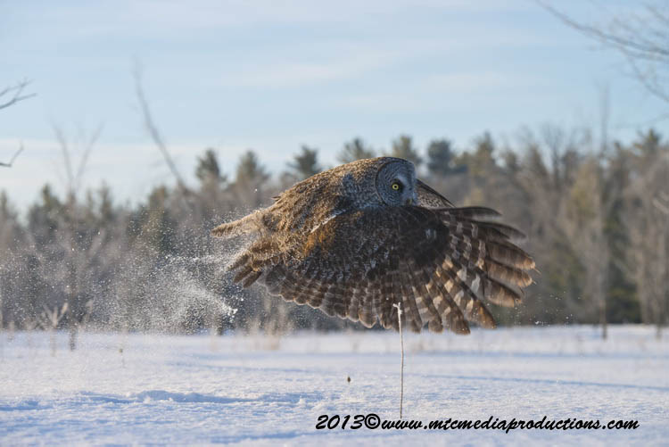 Great Grey Owl Picture-762