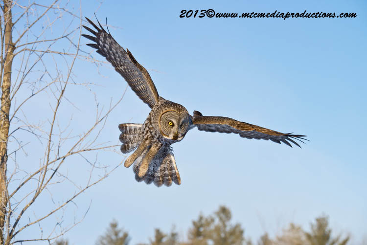 Great Grey Owl Picture-763