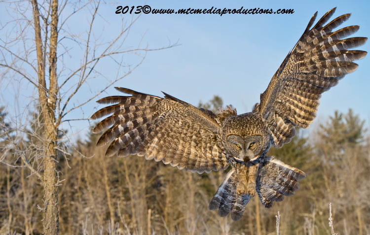 Great Grey Owl Picture-764